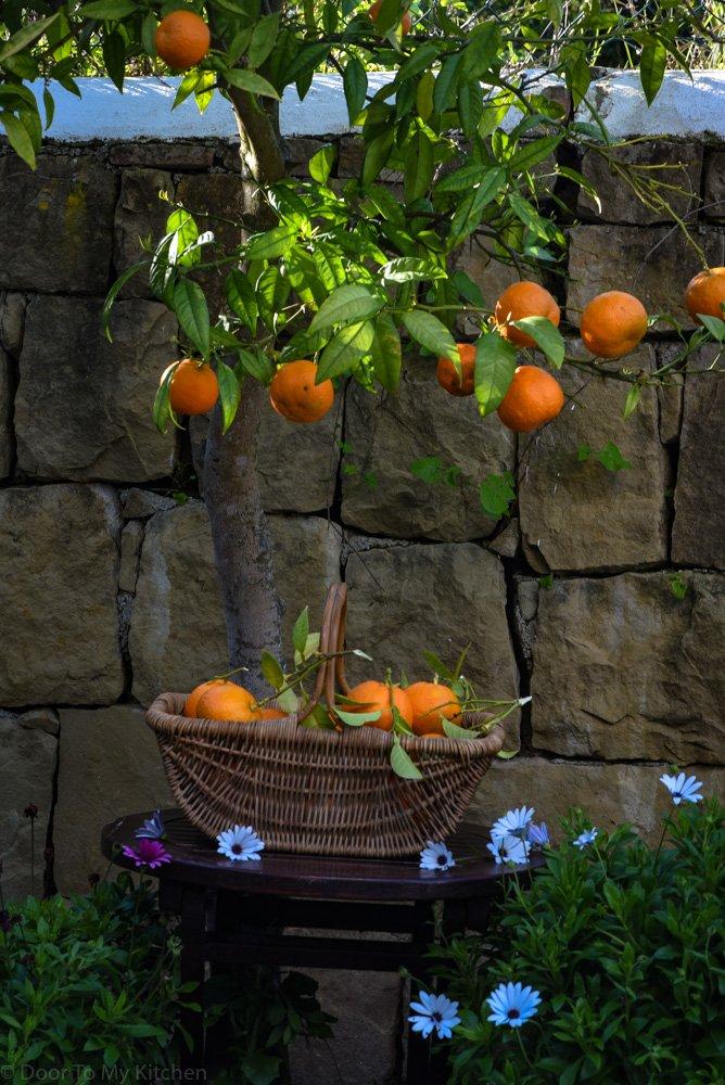 freshly picked oranges in a basket next to orange tree